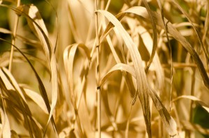 Crops failing from drought