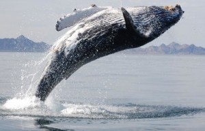 Untangling Humpback Whale from netting