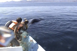 Video of Whale being freed from fisherman's netting